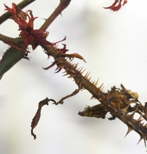 Rose Rosette Disease: Could your roses be infected? - Soil Alive